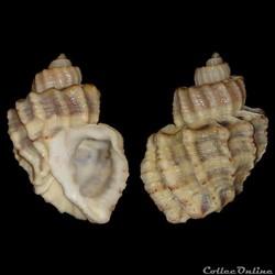 Cancellariidae - Trigonostoma scala (Gme...