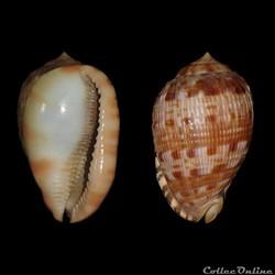 Cassidae - Cypraecassis testiculus (Linn...