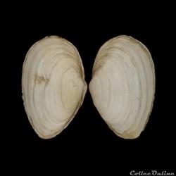Myidae - Mya arenaria, Linné, 1758