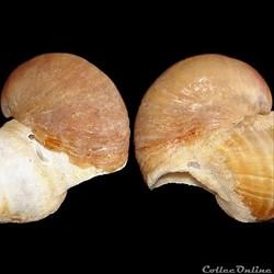Calyptraeidae - Crepidula fornicata (Lin...
