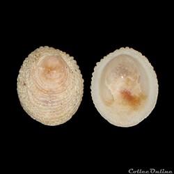 Hipponicidae - Pilosabia subrufa (Lamarc...
