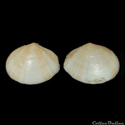 Tellinidae - Macoma sp.