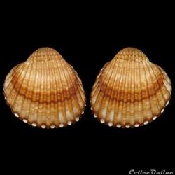 Cardiidae - Acanthocardia tuberculata, Linné, 1758.