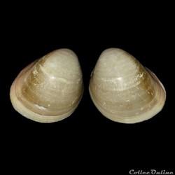 Cardiidae - Fulvia laevigata, Linné, 1758