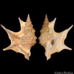 Aporrhaidae - Aporrhais pespelecani (Lin...