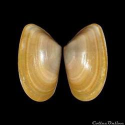 Donacidae - Donax trunculus, Linné, 1758