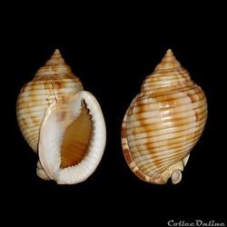 Cassidae - Semicassis undulata (Gmelin, ...