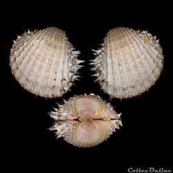 Cardiidae - Acanthocardia aculeata, Linné, 1758