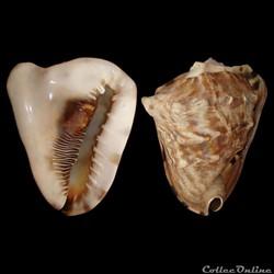 Cassidae - Cassis tuberosa (Linné, 1758)