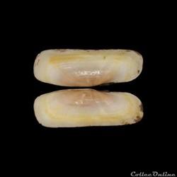 Solecurtidae - Tagelus adansonii (Bosc, ...