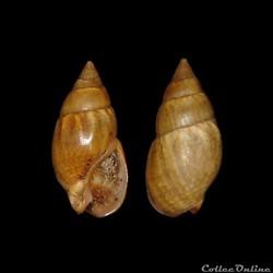 Nassariidae - Tritia corniculum, Olivi, 1792
