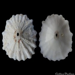 Fissurellidae - Fissurella verna (Gould,...
