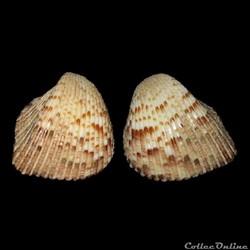 Cardiidae - Americardia media, Linné, 1758