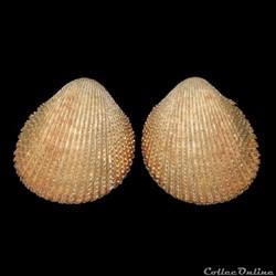 Cardiidae - Dallocardia muricata, Linné, 1758