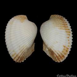 Arcidae - Anadara  notabilis (Röding, 17...