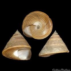 Calliostomatidae - Calliostoma javanicum...