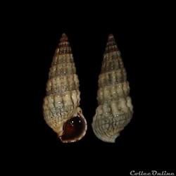 Batillariidae - Lampanella minima (Gmeli...