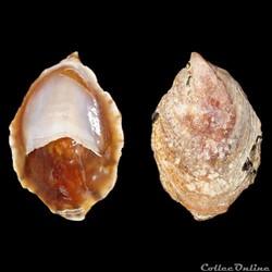 Calyptraeidae - Crepidula porcellana (La...