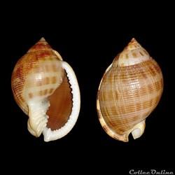 Cassidae - Semicassis saburon (Bruguière...