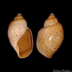 Volutidae - Ampulla priamus (Gmelin, 1791)