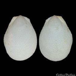 Limidae - Ctenoides scaber (Born, 1778)
