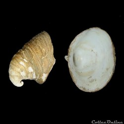 Capulidae - Capulus hungaricus (Linné, 1...