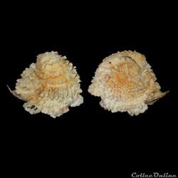 Chamidae - Chama macerophylla (Gmelin, 1791)