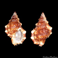 Bursidae - Bursa cubaniana (d'Orbigny, 1...
