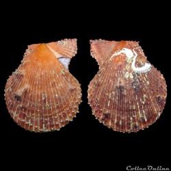 Pectinidae - Mimachlamys varia (Linné, 1...