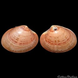 Veneridae - Callista chione (Linné, 1758...