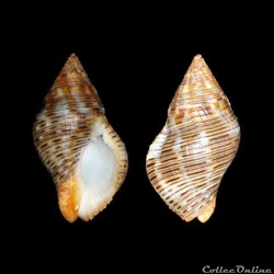 Buccinidae - Gemophos viverratus (Kiener...