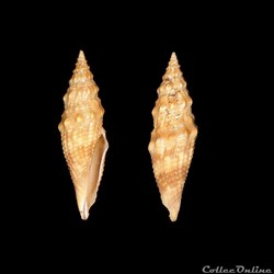 Borsoniidae - Genota mitriformis (Wood, ...
