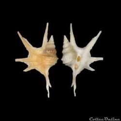 Aporrhaidae - Aporrhais serresiana (Michaud, 1828)