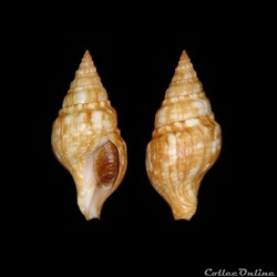 Buccinidae - Euthria cornea (Linné, 1758...