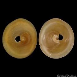 Calyptraeidae - Calyptraea chinensis (Li...