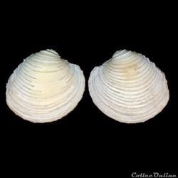 Veneridae - Venus chevreuxi (Dautzenberg, 1891)