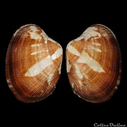 Veneridae - Polititapes aureus (Gmelin, ...