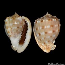 Cassidae - Cassis tessellata (Gmelin, 17...