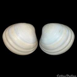 Veneridae - Pitar virgo (Gray, 1838)