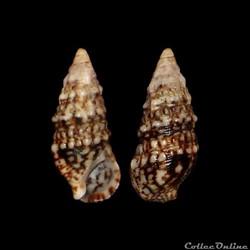 Cerithiidae - Cerithium lividulum (Risso...