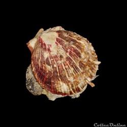 Spondylidae - Spondylus tenuis (Schreibe...