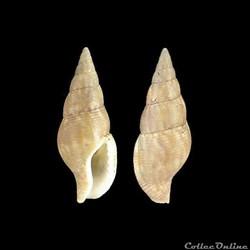 Columbellidae - Cotonopsis monfilsi (Eme...