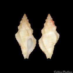 Muricidae - Orania fusulus, Brochi, 1814