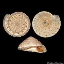 Antilles / Gastéropodes