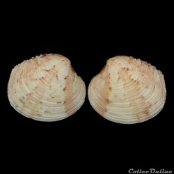 Veneridae - Venus casina (Linné, 1758)