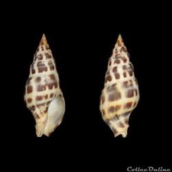 Clavatulidae - Pusionella nifat (Bruguiè...