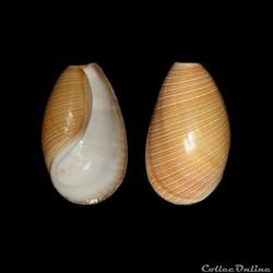 Méditerranée / Gastéropodes