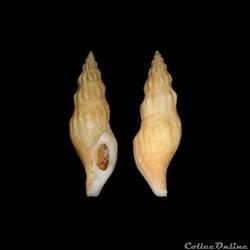 Buccinidae - Manaria fusiformis (Clench ...