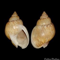 Nassariidae - Tritia mutabilis, Linné, 1758