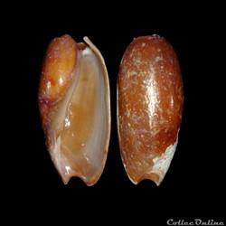 Volutidae - Cymbium cucumis (Röding, 179...